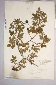 Rosa canina var. urbica herbarium specimen from Westhope Hill, VC36 Herefordshire in 1900 by Rev. Augustin Ley.