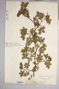 Rosa canina var. urbica herbarium specimen from Lyonshall Park Wood, VC36 Herefordshire in 1908 by Rev. Augustin Ley.