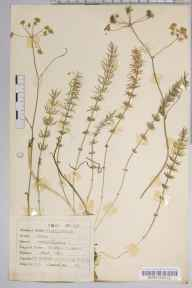 Carum verticillatum herbarium specimen from Ottershaw, VC17 Surrey in 1947 by Dr Richard Charles L'Estrange Burges.