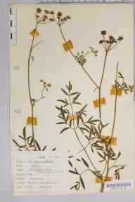 Silaum silaus herbarium specimen from Colwall, VC36 Herefordshire in 1944 by Dr Richard Charles L'Estrange Burges.