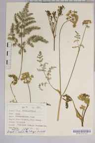 Meum athamanticum herbarium specimen from Dillicar Common, VC69 Westmorland in 1950 by Dr Richard Charles L'Estrange Burges.