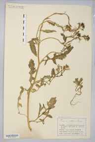 Eruca vesicaria subsp. sativa herbarium specimen from Saint Anne's on Sea, VC60 West Lancashire in 1907 by Mr Charles Bailey.