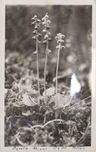 Pyrola minor herbarium specimen from Helmsley, VC62 North-east Yorkshire in 1935 by Dr Richard Charles L'Estrange Burges.