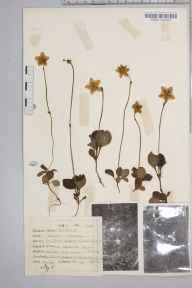 Moneses uniflora herbarium specimen from Balblair Wood, VC107 East Sutherland in 1946 by Dr Richard Charles L'Estrange Burges.