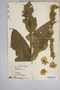 Verbascum phlomoides herbarium specimen from Downton, VC8 South Wiltshire in 1941 by Dr Richard Charles L'Estrange Burges.
