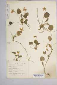 Viola odorata herbarium specimen from Badger Dingle, VC40 Shropshire in 1938 by Dr Richard Charles L'Estrange Burges.