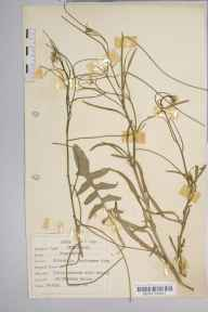 Sisymbrium orientale herbarium specimen from Fareham, VC11 South Hampshire in 1939 by Dr Richard Charles L'Estrange Burges.