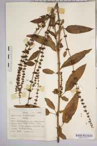 Rumex sanguineus herbarium specimen from Clifton, VC34 West Gloucestershire in 1952 by Dr Richard Charles L'Estrange Burges.