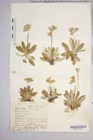 Primula scotica herbarium specimen from Dunnet, VC109 Caithness in 1946 by Dr Richard Charles L'Estrange Burges.