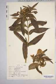 Lysimachia vulgaris herbarium specimen from Loughrigg Tarn, VC69 Westmorland in 1943 by Dr Richard Charles L'Estrange Burges.
