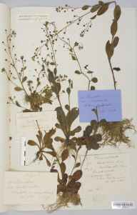 Samolus valerandi herbarium specimen from Hogsthorpe, VC54 North Lincolnshire in 1899 by Mr Langley Kitching.