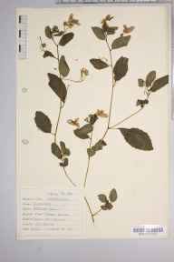 Impatiens biflora herbarium specimen from Kew, VC17 Surrey in 1942 by Dr Richard Charles L'Estrange Burges.