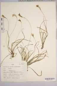 Carex digitata herbarium specimen from Helmsley, VC62 North-east Yorkshire in 1935 by Dr Richard Charles L'Estrange Burges.
