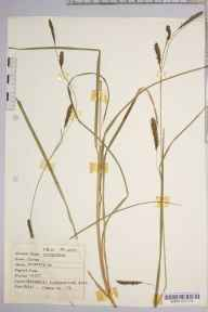 Carex binervis herbarium specimen from Bettyhill, VC108 West Sutherland in 1946 by Dr Richard Charles L'Estrange Burges.
