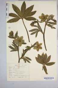Helleborus viridis herbarium specimen from Bentley, VC37 Worcestershire in 1936 by Dr Richard Charles L'Estrange Burges.