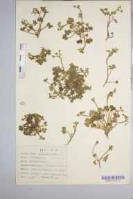 Ranunculus parviflorus herbarium specimen from Anstey's Cove, VC3 South Devon in 1941 by Dr Richard Charles L'Estrange Burges.