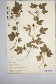 Ribes alpinum herbarium specimen from Dovedale, VC57 Derbyshire in 1937 by Dr Richard Charles L'Estrange Burges.