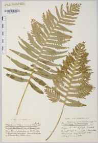 Polypodium vulgare herbarium specimen from Hallatrow, VC6 North Somerset in 1930 by Mr Harold Stuart Thompson.