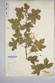 Acer campestre herbarium specimen from Turnpole, VC55 Leicestershire in 1936 by Dr Richard Charles L'Estrange Burges.
