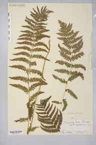 Thelypteris palustris herbarium specimen from Shapwick, VC6 North Somerset in 1910.