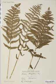 Thelypteris palustris herbarium specimen from Dungeness, VC15 East Kent by William Henry Griffin.