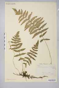 Thelypteris palustris herbarium specimen collected in 1874 by A Prichard.
