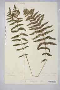 Thelypteris palustris herbarium specimen from Lyndhurst, VC11 South Hampshire in 1882 by Rev. Augustin Ley.
