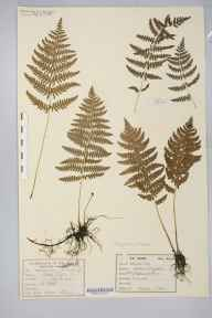 Thelypteris palustris herbarium specimen from Shapwick Moor, VC6 North Somerset in 1877 by T Stock.