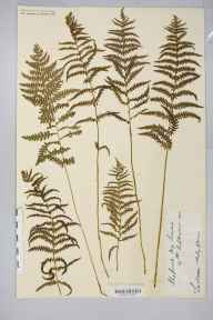 Thelypteris palustris herbarium specimen from Shapwick Moor, VC6 North Somerset in 1910 by Rev. Augustin Ley.