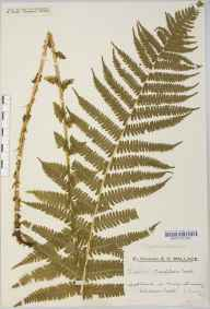 Oreopteris limbosperma herbarium specimen from Ashdown Forest, VC14 East Sussex in 1934 by Mr Edward Charles Wallace.