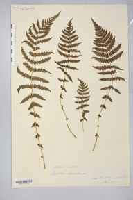 Oreopteris limbosperma herbarium specimen from New Forest, VC11 South Hampshire in 1878 by Mr William Henry Wilkinson.