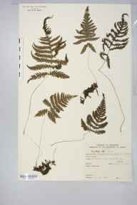 Phegopteris connectilis herbarium specimen from Fairbrook Clough, VC57 Derbyshire in 1949 by Rev Douglas Montague Heath.