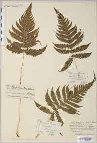 Phegopteris connectilis herbarium specimen from Scotland in 1847 by Mr Thomas Clark.