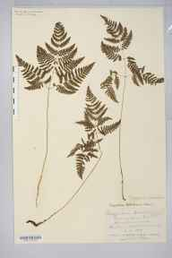 Gymnocarpium robertianum herbarium specimen from Dalton, VC69 Westmorland in 1878 by Mr John Harbord Lewis.