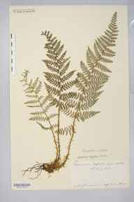 Dryopteris submontana herbarium specimen from Ingleborough, VC64 Mid-west Yorkshire in 1902 by Rev. Augustin Ley.