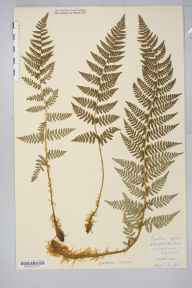 Dryopteris submontana herbarium specimen from Chapel-le-Dale, VC64 Mid-west Yorkshire in 1901 by Rev. Augustin Ley.