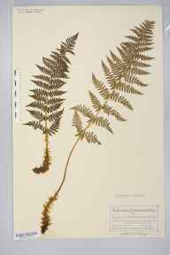 Dryopteris submontana herbarium specimen from Arnside, VC69 Westmorland in 1874 by Mr Charles Bailey.