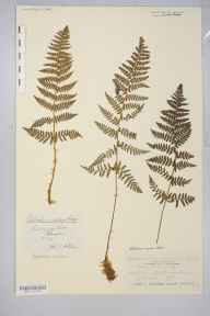 Dryopteris submontana herbarium specimen from Dalton, VC69 Westmorland in 1878 by Mr John Harbord Lewis.