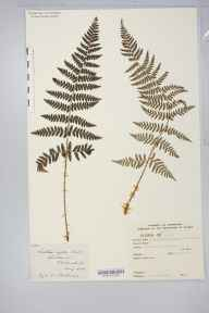 Dryopteris submontana herbarium specimen from Whitbarrow, VC69 Westmorland in 1888 by George Ernest Martindale.
