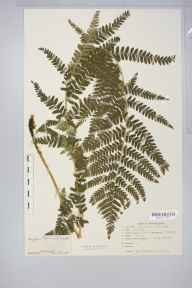 Dryopteris filix-mas herbarium specimen from Sutton Park, VC38 Warwickshire in 1951 by Miss Dorothy Adlington Cadbury.