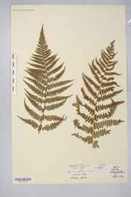 Dryopteris filix-mas herbarium specimen from Tenby, VC45 Pembrokeshire in 1872 by Dr Robert Large Baker.