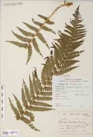 Dryopteris oreades herbarium specimen from River Tees at High Force, VC66 County Durham in 1903 by Mr Harold Stuart Thompson.
