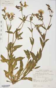 Silene latifolia herbarium specimen from Lympstone, VC3 South Devon in 1846 by Dr Robert Coane Roberts Jordan.