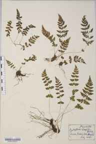 Cystopteris fragilis herbarium specimen from Onich, VC97 West Inverness-shire in 1908.