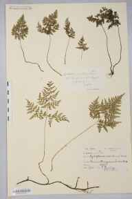 Cystopteris montana herbarium specimen from Beinn Heasgarnich, VC88 Mid Perthshire in 1908 by Peter Ewing.