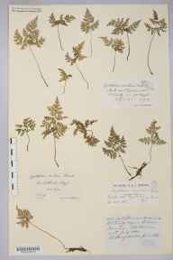 Cystopteris montana herbarium specimen from Meall nan Tighearn, VC98 Argyllshire in 1910 by Rev. Edward Shearburn Marshall.