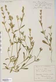 Silene gallica herbarium specimen from Springfield, VC17 Surrey in 1889 by Mr Frederic Henry Ward.