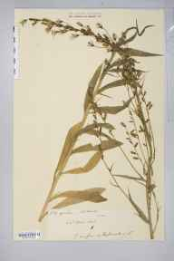 Campanula rapunculus herbarium specimen from Netherton, VC36 Herefordshire in 1908 by Rev. Augustin Ley.