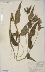 Campanula trachelium herbarium specimen from Petersfield, VC12 North Hampshire in 1896 by William West.