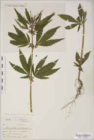 Cannabis sativa herbarium specimen from Clifton, VC34 West Gloucestershire in 1888 by Mr Harold Stuart Thompson.
